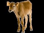 hero-calf