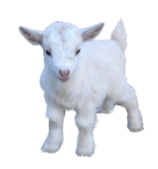 goat_png13161