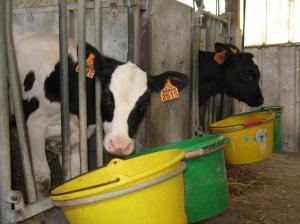 Elevage bovin laitier. Veaux. Alimentation. Case à veau