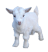 goat_PNG13161